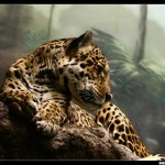 Jaguar HD Wallpaper